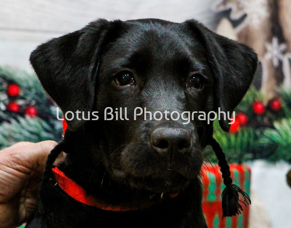 Black Lab Puppy - Sammy
