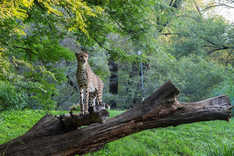 Cheetahs on a Summer Morning 2014