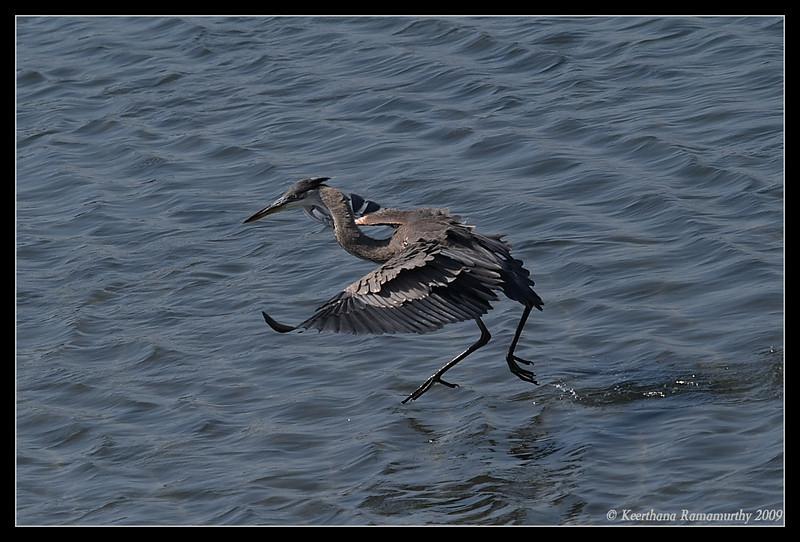 Great Blue Heron landing, Robb Field, San Diego County, California, August 2009