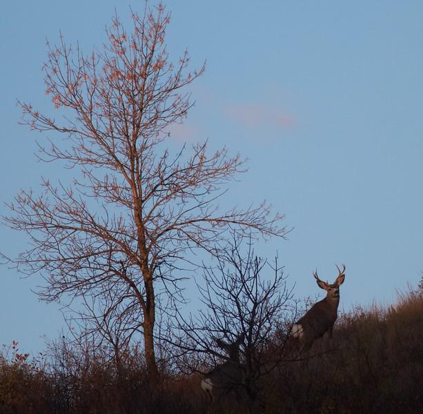 Mule Deer Teddy Roosevelt National Park ND IMG_7341.jpg