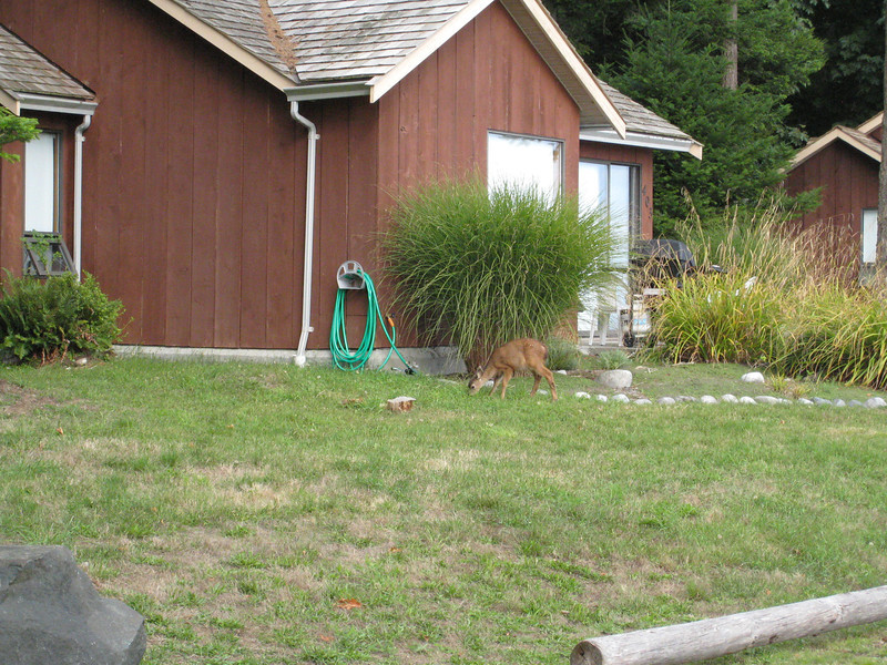This is a little deer in front of one the lodges cabins.