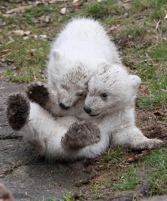 . 14 week-old twin polar bear cubs play during their first presentation to the media in Hellabrunn zoo on March 19, 2014 in Munich, Germany. The male and female twins were born on December 9, 2013 in the zoo.  (Photo by Alexandra Beier/Getty Images)