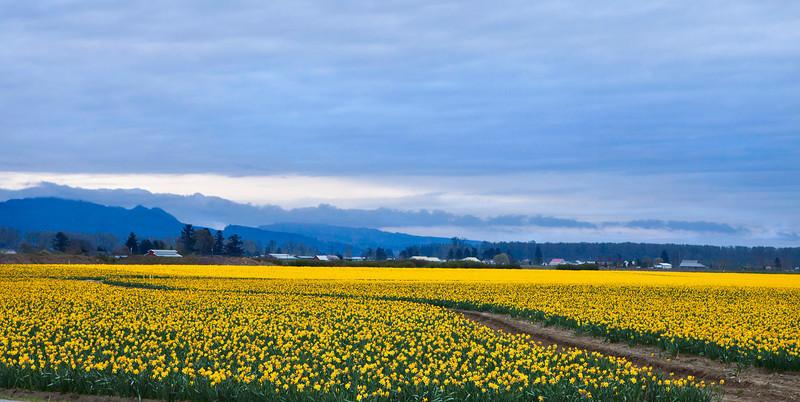 Daffodils 6945