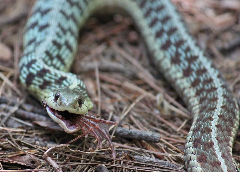 snake eating frog 7.jpg
