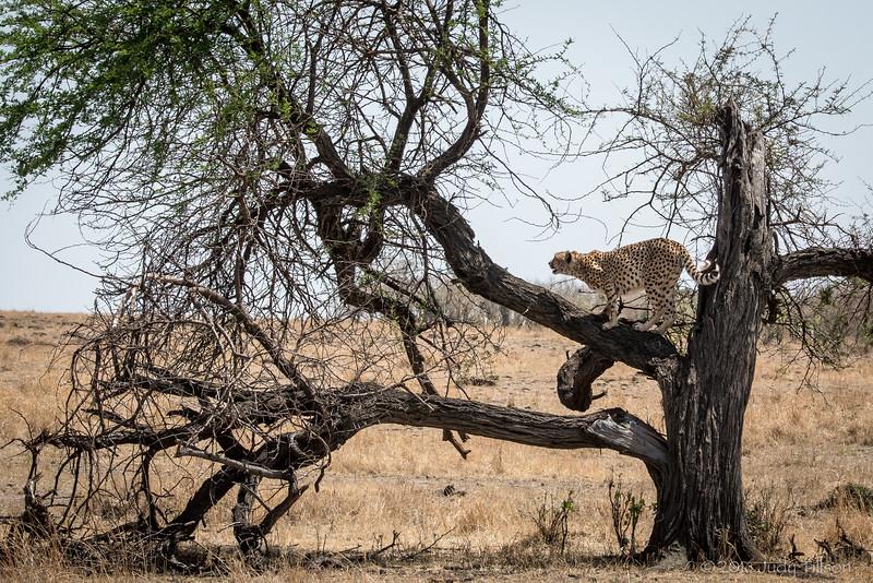 Tanzania Cheetah-9179.jpg