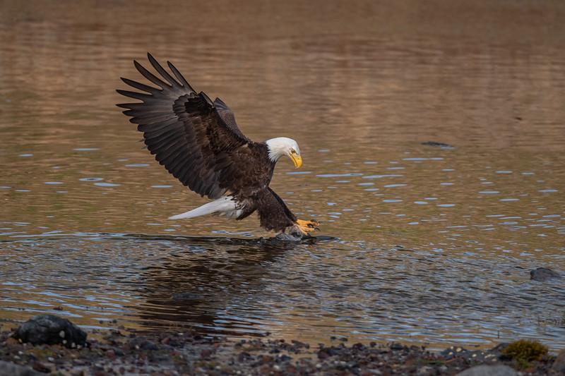 #1605 Bald Eagle