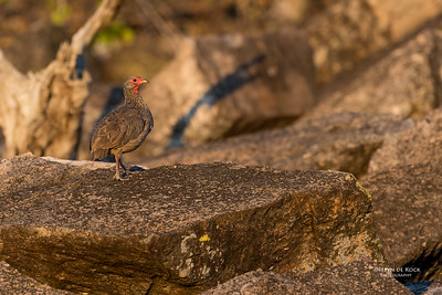 Swainson's spurfowl (Pternistis swainsonii)