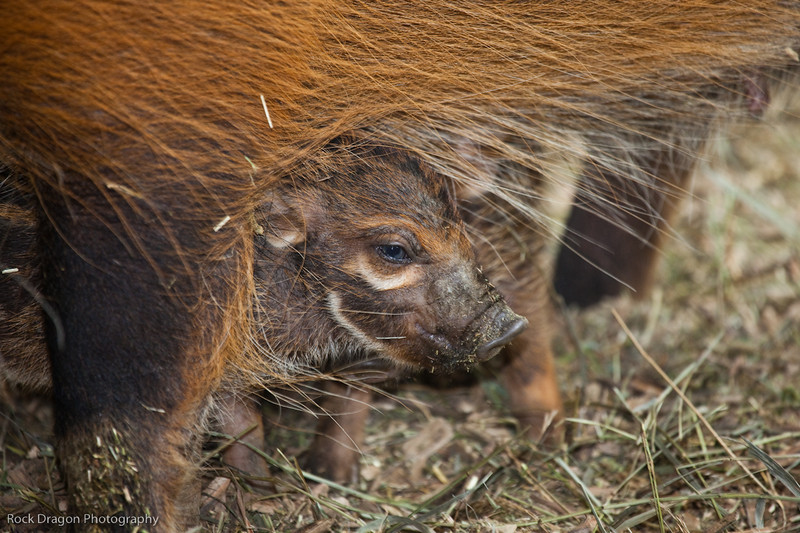 Baby Red River Hogs at the Calgary Zoo. Calgary Zoo April 11