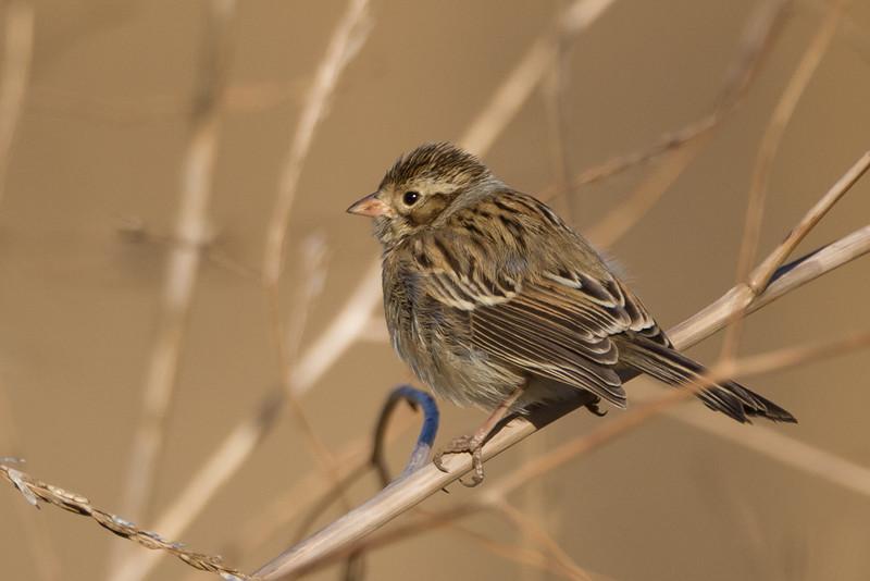 Clay-colored Sparrow, Byxbee Park, Palo Alto, CA, USA