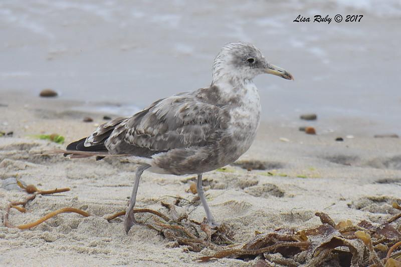 California Gull?  - 8/27/2017 - Imperial Beach, walk to river mouth