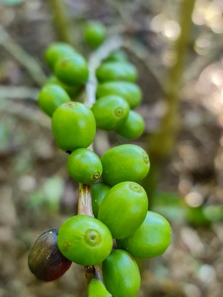 Green Arabica Coffee Beans on a Tree