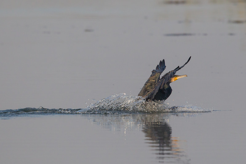 Indian Cormorant landing - Koradi Lake, Nagpur, India