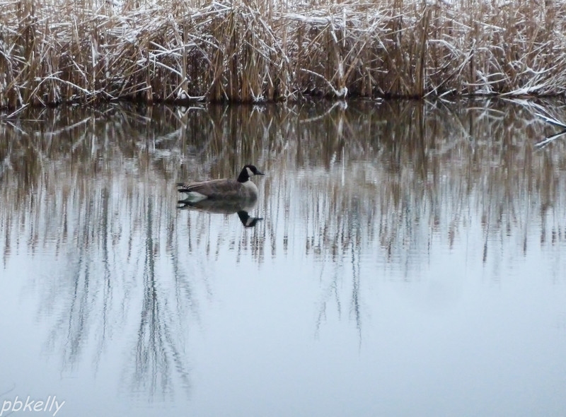 12-06.  Came out this morning to a lone goose on the pond.  We rarely have them.