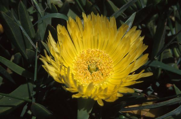 Ice plant -  Carpobrotus edulis