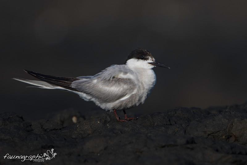 Common Tern - Adult Breeding Plumage