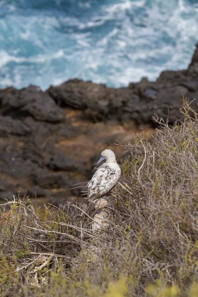 Red Footed Boobie Chick at Punta Pitt, San Cristobal.jpg