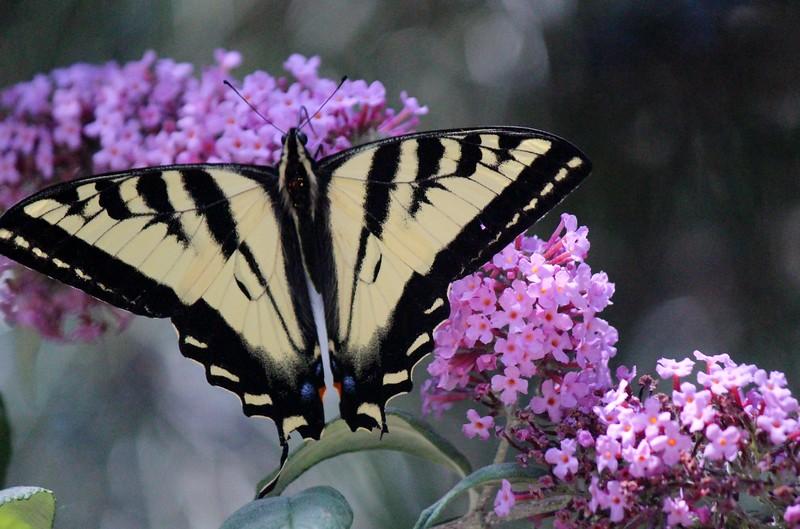 Best Butterfly.JPG