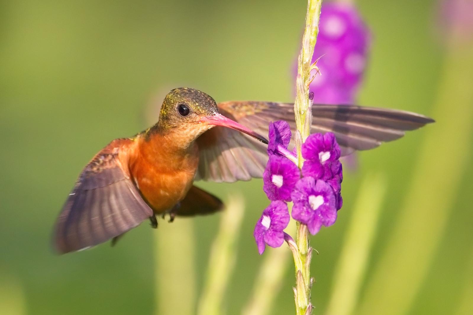 Cinnamon Hummingbird (Amazilia rutila).