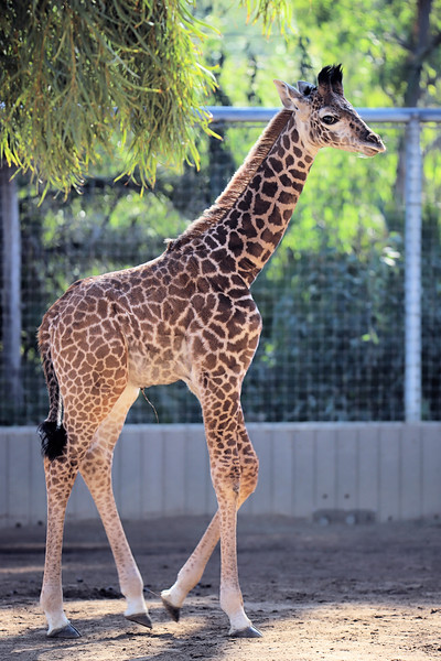 Giraffe_Jan 2018