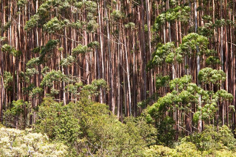 Hawaii_072015_EucalyptusGrove.jpg