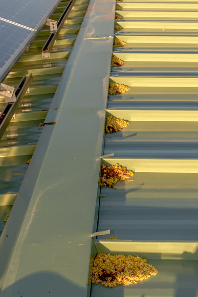 Paloverde Blossoms on Roof #1