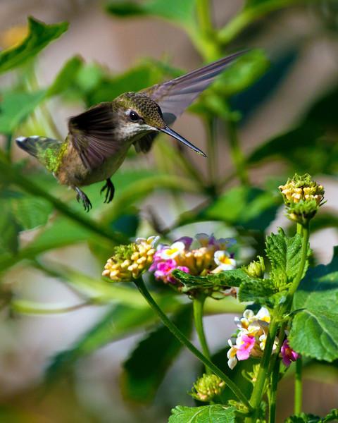 hummingbirdandlantana24.jpg
