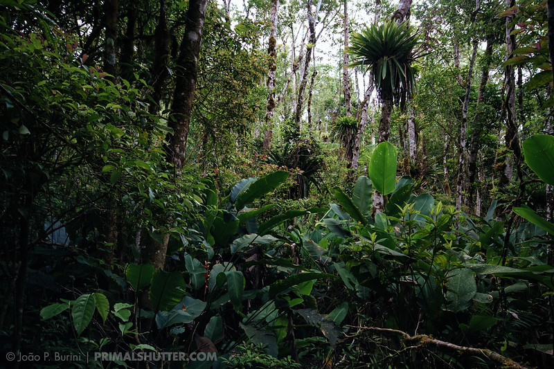 Atlantic forest vegetation