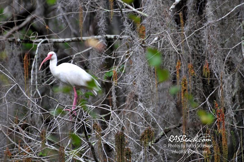 White IBIS in the Florida Everglades