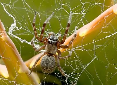 Australian house spider,  Badumna longinqua,  in U.S.