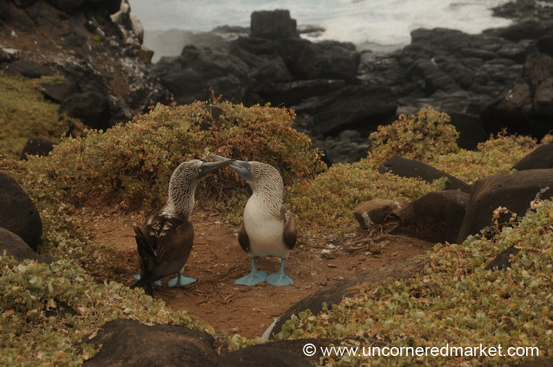 Let the Mating Begin - Galapagos Islands
