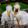 Where's Breakfast?  Great Egret Chicks at the Alligator Farm #1 04/14