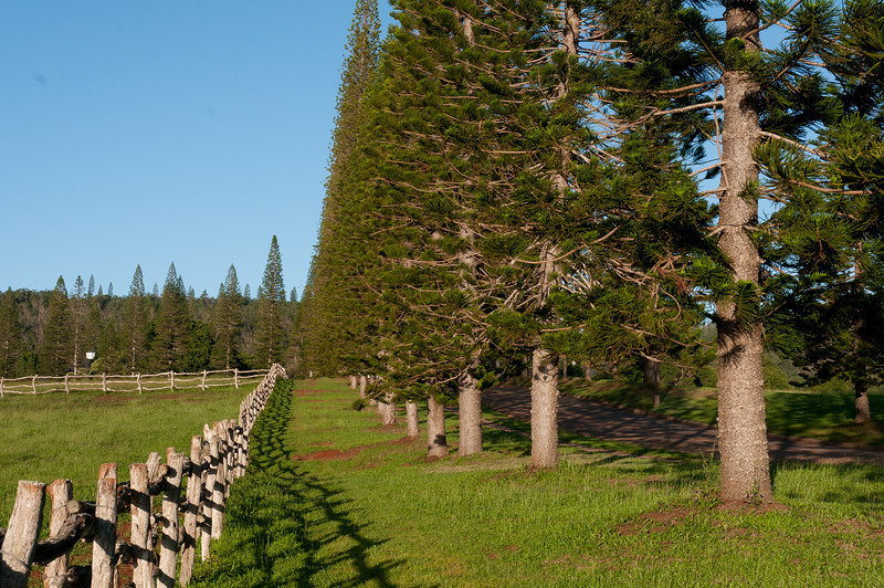 Pine trees and wooden fence in Lanai, Hawaii