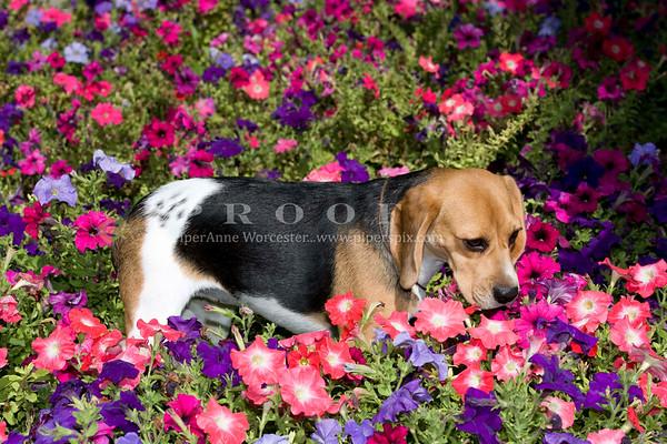 Beagle DT