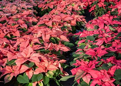 Wilson Farm - Poinsettias - Lexington MA