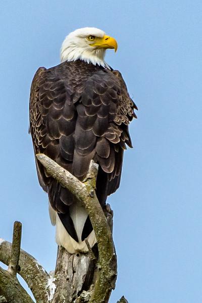 Bald Eagle - NH