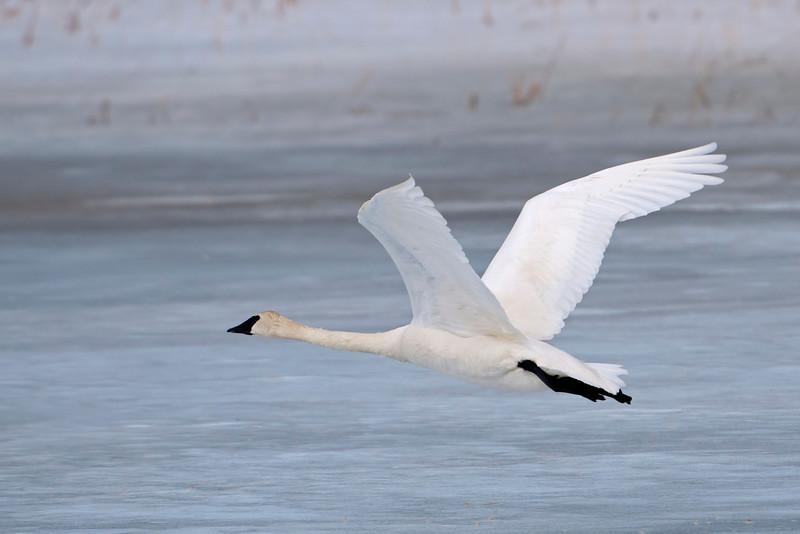 Swan - Trumpeter - Mud Goose WMA - MN - 05