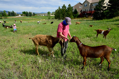 Photos: Mutton Mowers Helping With Weed Control in Superior