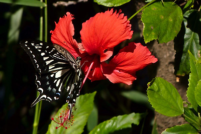 Swallowtail Butterfly on Hibiscus Bloom December 2013, Cynthia Meyer, Wailuku, Maui, Hawaii