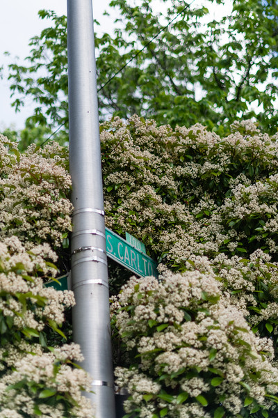 The Carlton Street sign is covered by a tree in Baltimore, Md. on May 12, 2020.