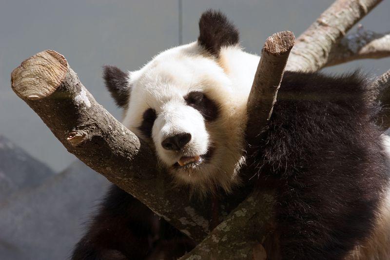 Lun-Lun, Female, Giant Panda,  Ailuropoda Melanoleuca, Zoo, Atlanta, Georgia, USA