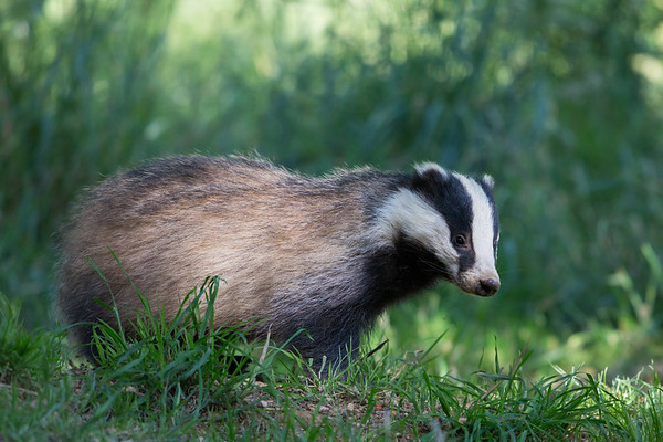 Wildlife Photography - European Badger
