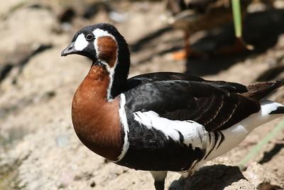 Zoo Water Birds