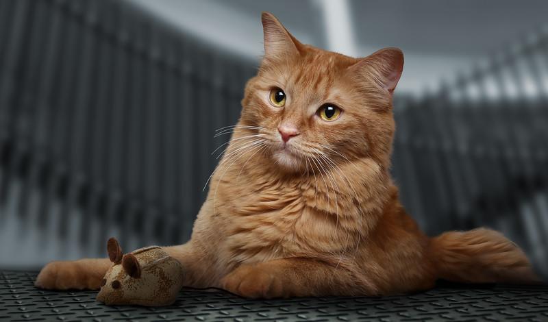 Orange-cat-11.jpg