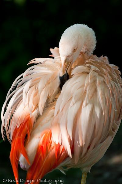 Flamingo, Calgary Zoo
