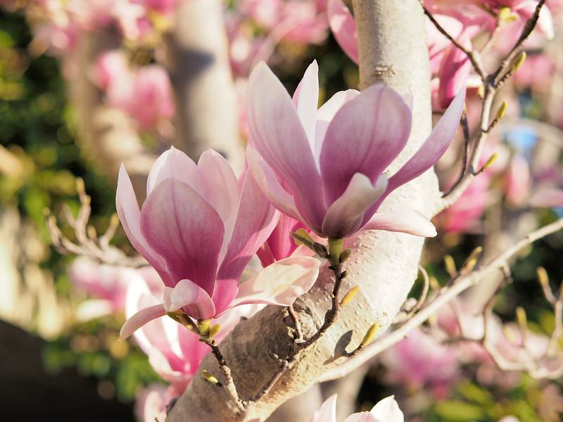 20180825_1448_0514 magnolias