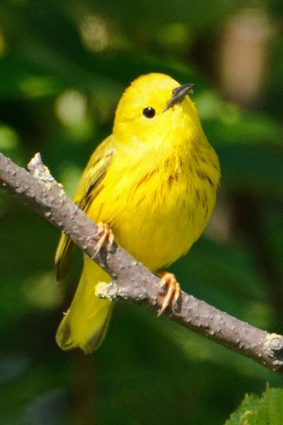 Warbler - Yellow - Grand Marais, MN
