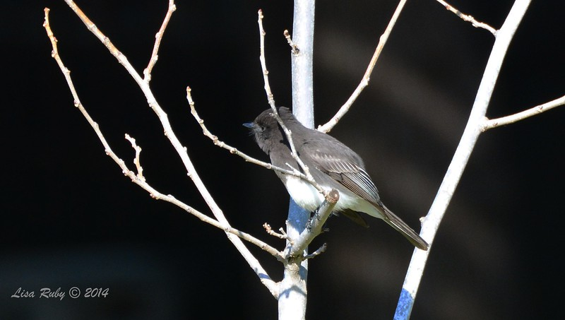 Black Phoebe - 1/3/2015 - RB CBC, Bernardo Winery