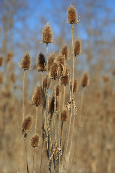 2013_12_25 Winter Thistle 006.jpg