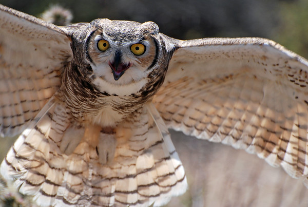 Owl, Great Horned