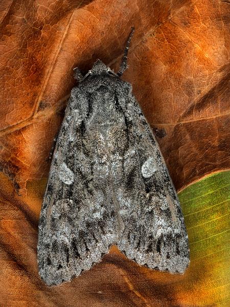 Great Brocade Moth
